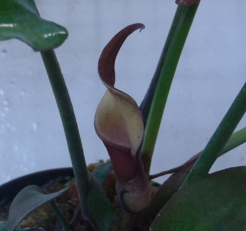 画像1: Sinkil Aceh Sumatera紫花(240610) ただ今増殖待ち