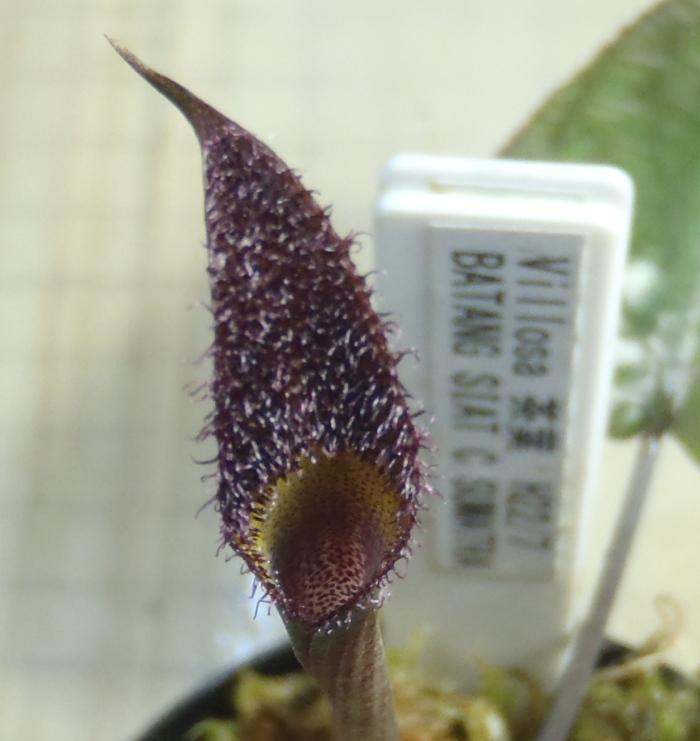 画像1: Villosa 緑葉 BATANG SIAT C.SUMATRA ただ今増殖待ち