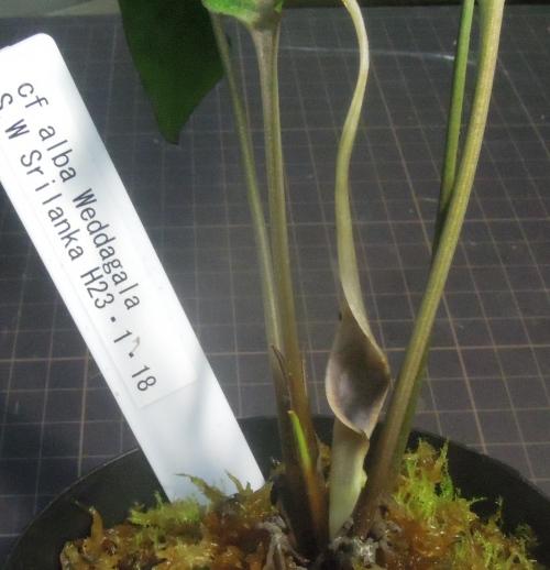 画像2: アルバ Weddagala H27/2/5開花 ただ今増殖待ち
