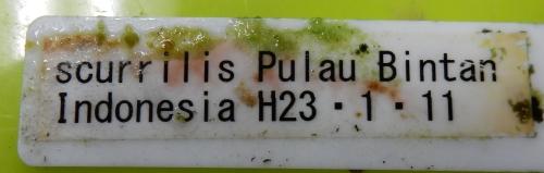 画像2: scurrilis Pulau Bintan Indonesia H23・1・11(増殖待ち)