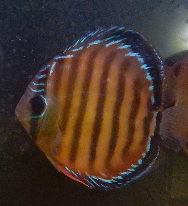 画像1: ワイルドソリッドレッドディスカスジャリ産約13cm