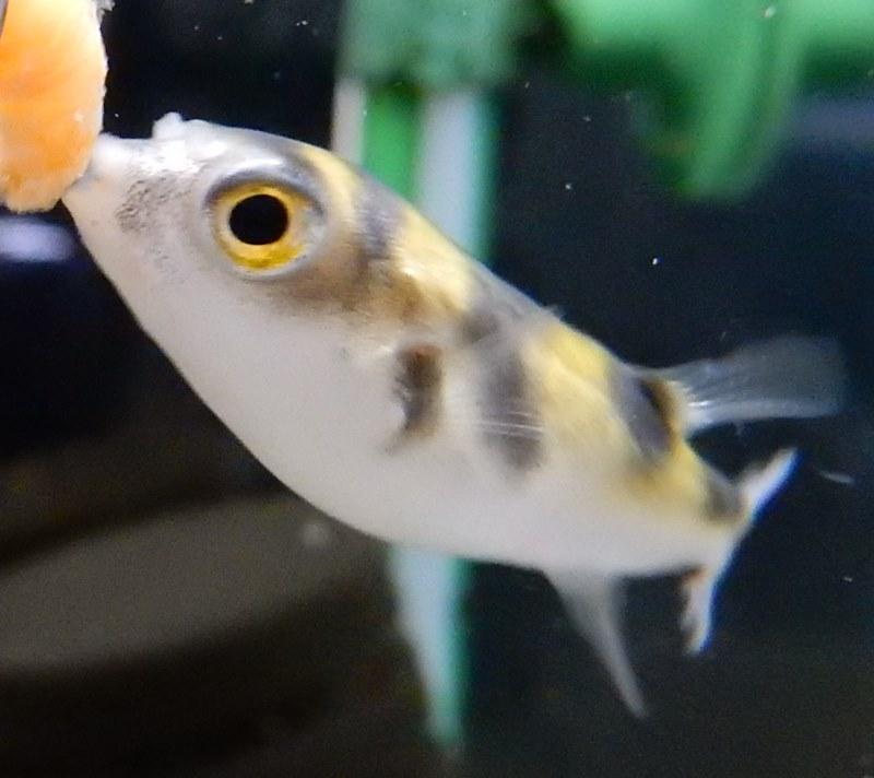 画像1: 南米淡水フグ