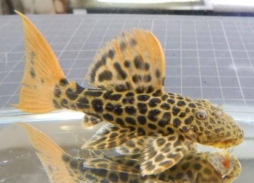画像1: オレンジフィンレオパードトリム 約9.5cm