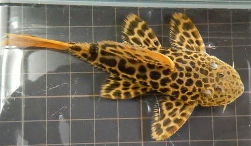 画像2: オレンジフィンレオパードトリム 約9.5cm