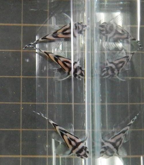 画像3: インペリアルゼブラプレコ2cm1匹(新潟中央区産)