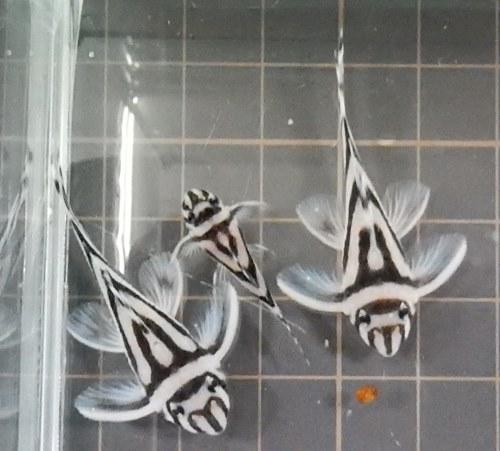 画像1: インペリアルゼブラプレコ2cm1匹(新潟中央区産)