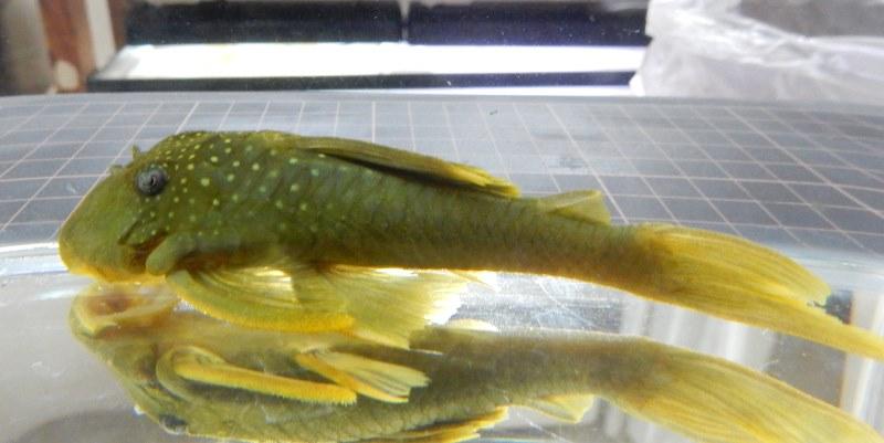 画像1: レモンフィンプレコ約11cm前後