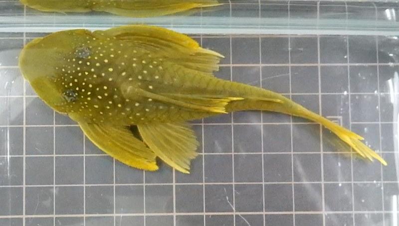 画像2: レモンフィンプレコ約11cm前後